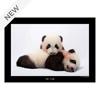 National Geographic Panda Poster