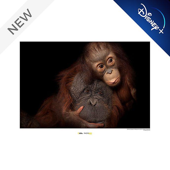National Geographic Orangutan Poster